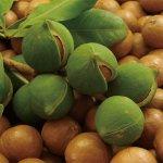 画像2: 有機栽培マカダミアナッツオイル150ml (2)